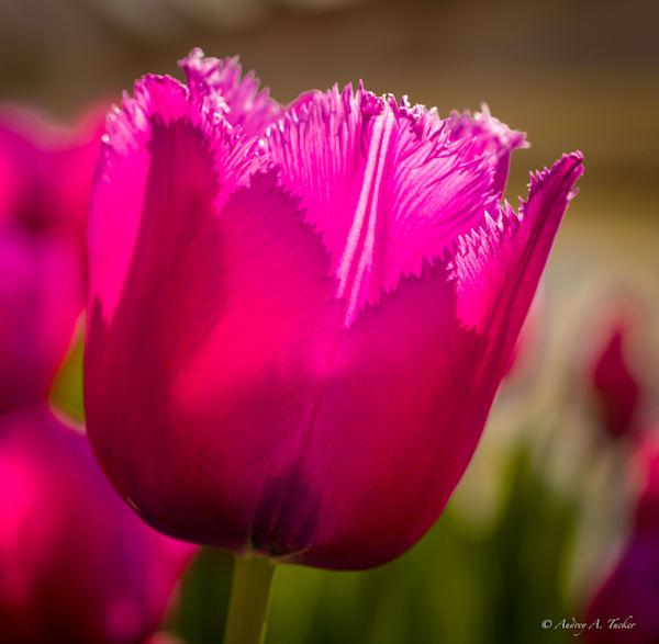 Pink Highlights Fine Art Photograph