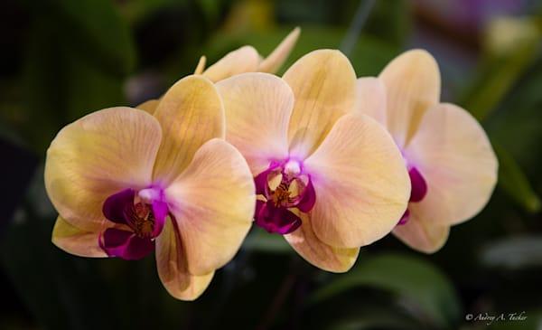 Orchid Triplets Fine Art Photograph
