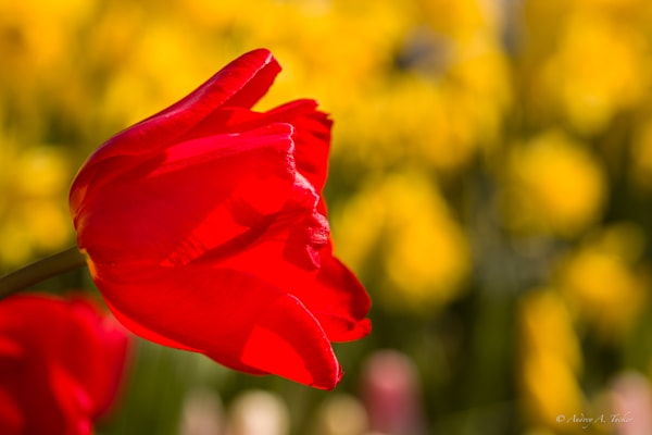 Red Over Yellow Fine Art Photograph