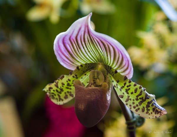 Slipper Orchid Fine Art Photograph