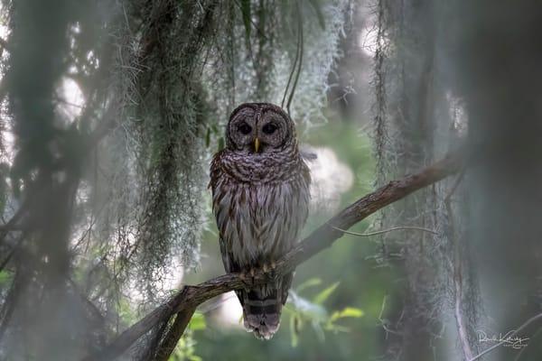 The Dream Owl