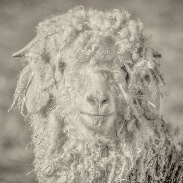Angora goat photo portrait