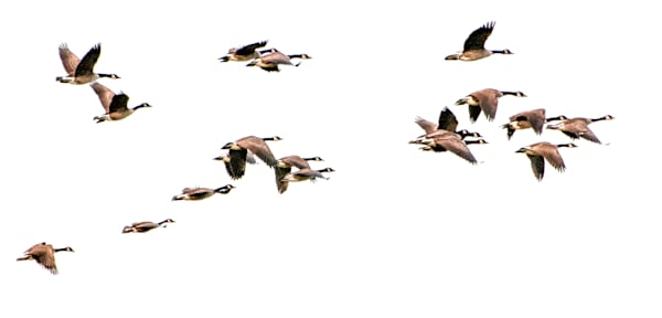 Geese over Ronnybrook Farm