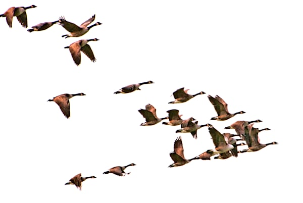 Geese flying above Ronnybrook Farm