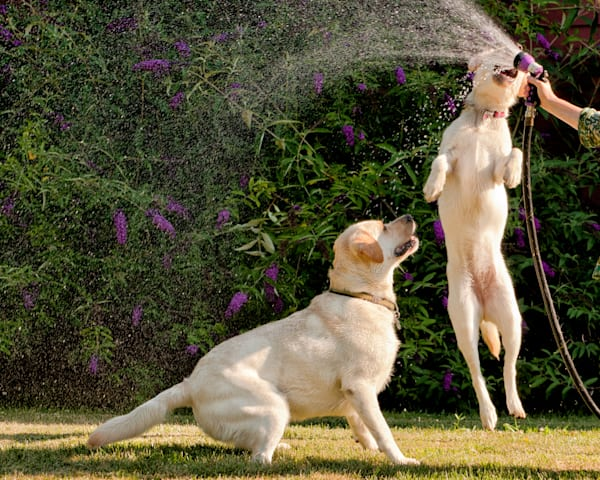 Yellow Labs cooling off