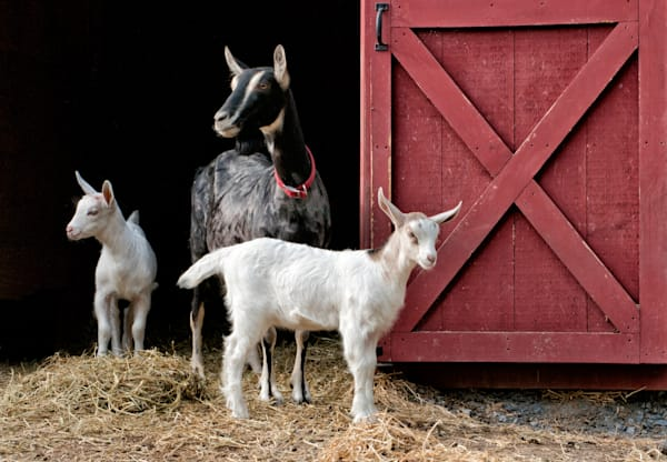 Mama goat and two young ones
