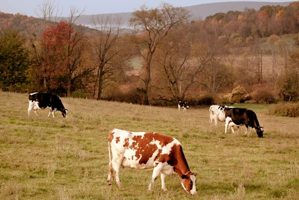 Ronnybrook Cows in Pasture