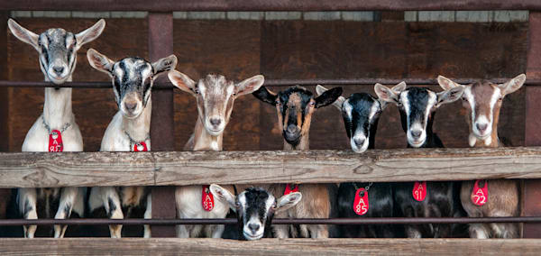 Funny adorable family portrait of goats