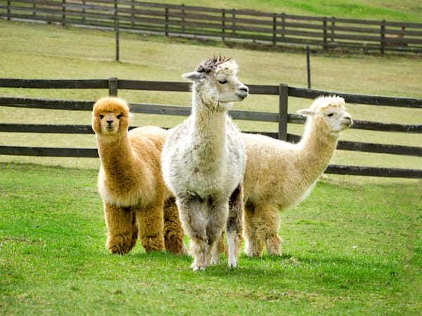 Three Alpacas