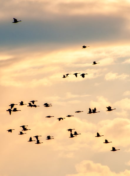 Geese in flight before sunset