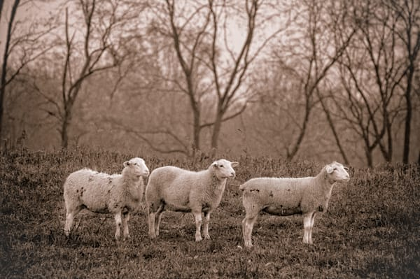 Three Sheep at Herondale Farm