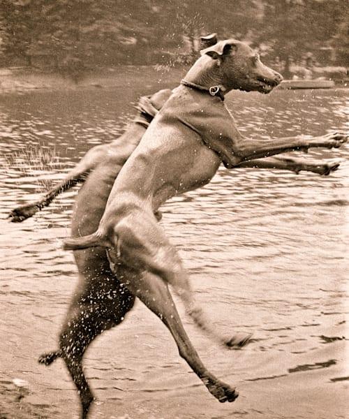 Jumping Weimaraners