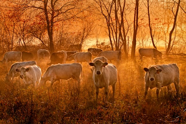 Herondale Cows at Sunrise