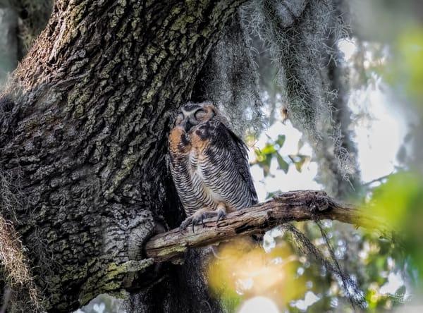 Sleeping Beauty Owl Photographic Art