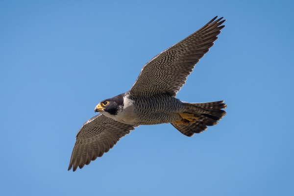 Peregrine Falcon in Flight, La Jolla, California