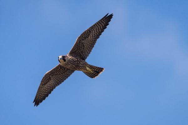 Peregrine Falcon Juvenile in Flight, La Jolla, California