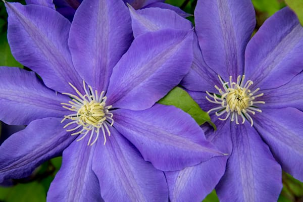 Clematis at Innisfree Garden