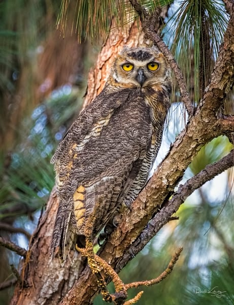 Camouflage of the Great Horned Owl Photograph