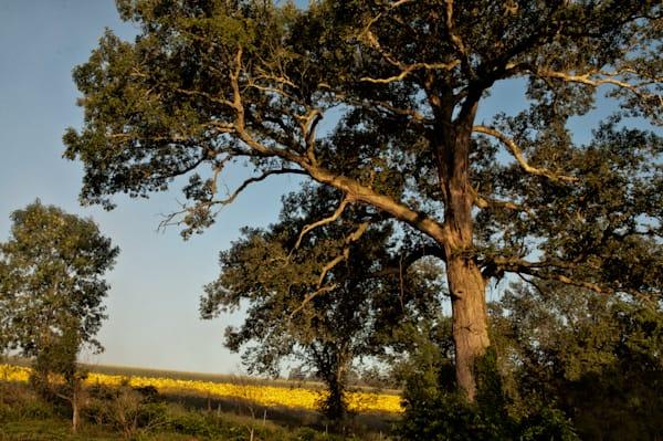 Oak Tree and Sunflower Field