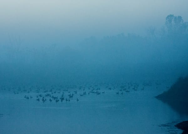 Geese in misty blue pond