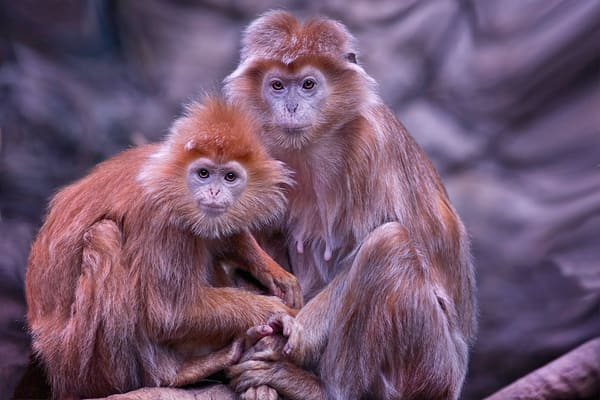 Javan Lutung Monkeys, Monkey and animals,