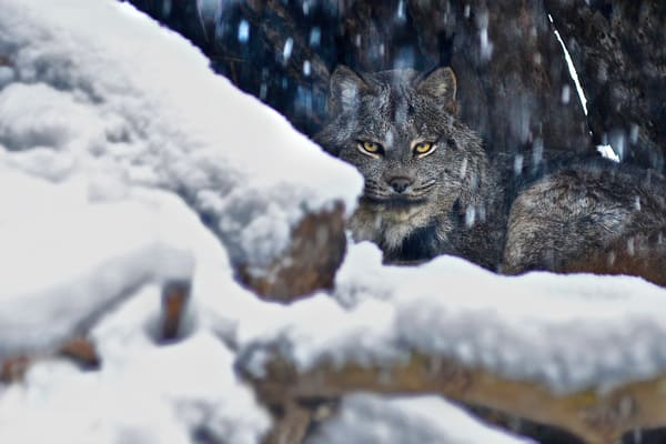 Lynx Bobcat, wildlife and animals, cats,