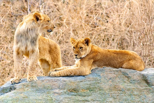 lion cubs, lions in the wild,