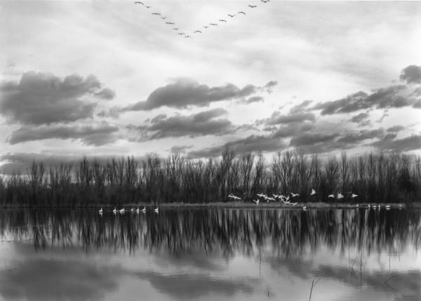 Scott's Flight, Bosque del Apache photograph