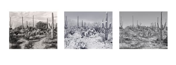 Saguaro Seasons triptych photograph