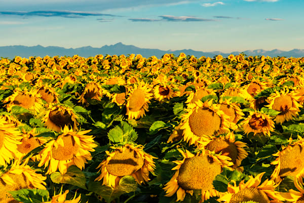 Sunflower Field Photography Art | Patrick O'Toole Photography, LLC