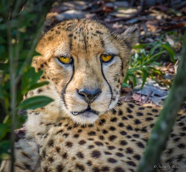 Cheetah Peeking Fine Art Photograph