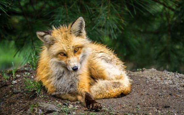 Foxy Red Fox Fine Art Photograph
