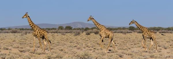 Giraffe Family Fine Art Photograph