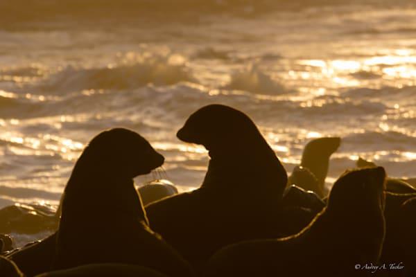 Seal the Sunset Fine Art Photograph