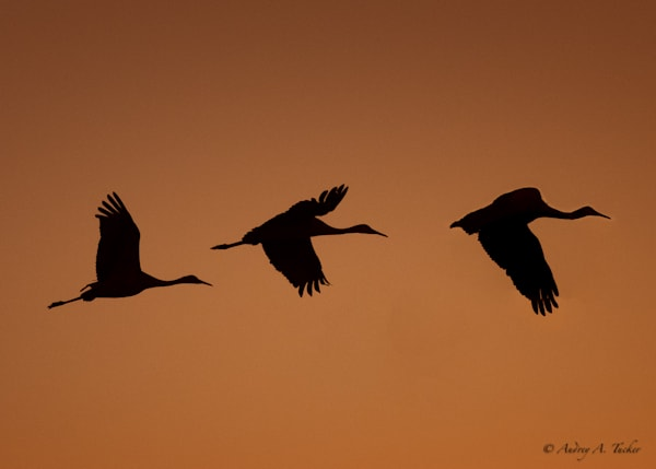 Shadow of the Sandhill Cranes Fine Art Photograph
