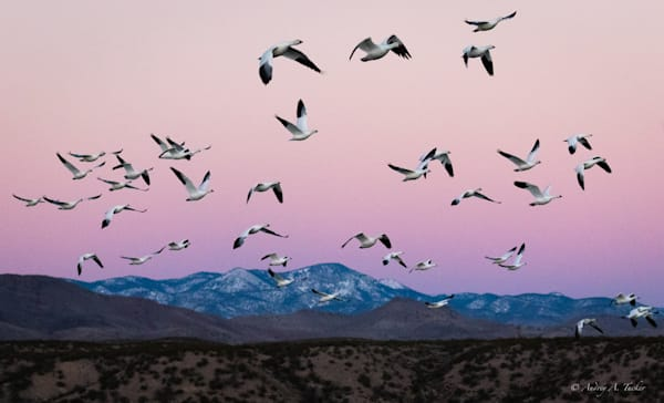 Snow Geese Blizzard Fine Art Photograph