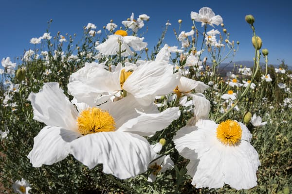 Matilija Poppies 2, San Diego, California