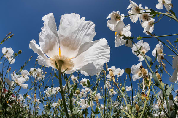 Matilija Poppies, San Diego, California