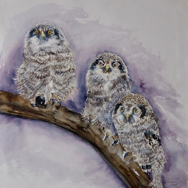 Great Grey Owls: Babies