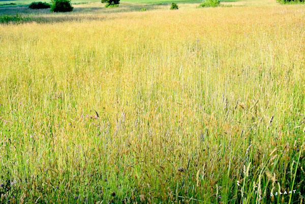 Breezy Grasses in Summer Print