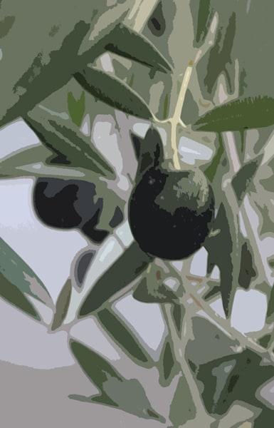Olives Awaiting Harvest