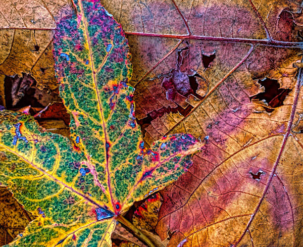 Fall Contrast|Fine Art Photography by Todd Breitling|Trees and Leaves|Todd Breitling Art|