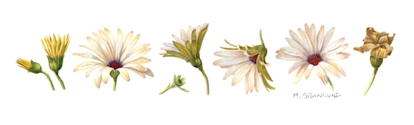 Osteospermum Prints by Mark Granlund