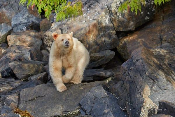 Spirit Bear, kermode, ursus, wildlife, predator, white