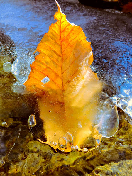 Leaf Frozen In A Stream|Fine Art Photography by Todd Breitling|Trees and Leaves|Todd Breitling Art|