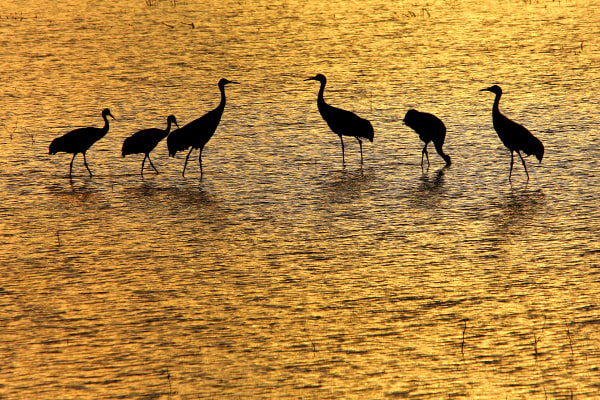 Cranes on a Golden Pond color photograph