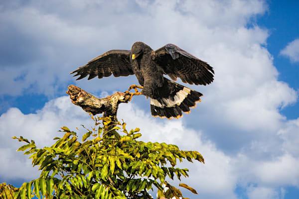 Hawk Incoming