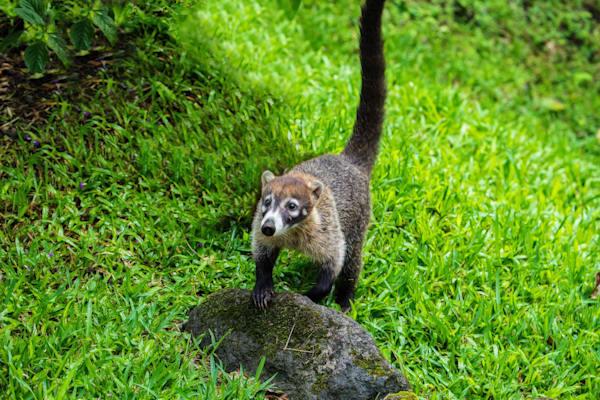Costa Rican Raccoon