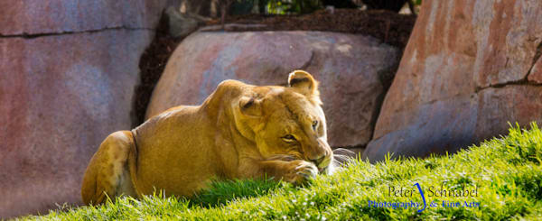 Lioness Queen of the Jungle