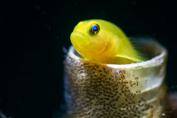 A lemon goby living inside a vacated tube worm casing watches over its brood of eggs.